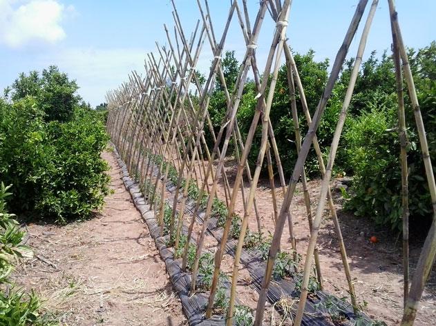 Tomates naranjas del sol - Como se planta el bambu ...